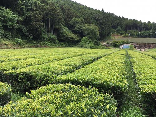 The tea garden of Mr. Ota